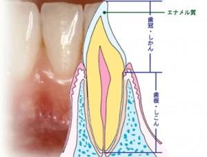 歯の縦切断面図
