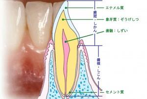 歯の縦断面図